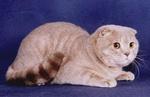 Шотландская вислоухая кошка или скоттиш-фолд